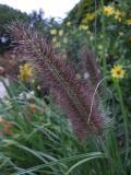 Pennisetum alop. var. viridescens