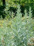 Artemisia ludoviciana var. albula