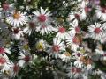 Aster lateriflorus (syn. Symphyotrichum)