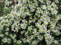 Aster ericoides f. prostratus