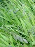 Chasmantium latifolium