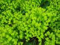Euphorbia seguieriana ssp. niciciana