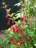 Fuchsia regia ssp. reitzii