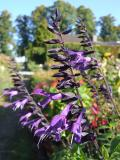 Salvia Hybride