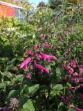 Salvia curviflora
